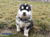 Щенки Хаски / Catei Husky / Husky puppies - 1