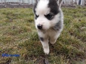 Щенки Хаски / Catei Husky / Husky puppies - 2
