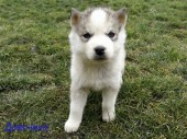 Щенки Хаски / Catei Husky / Husky puppies - 3