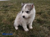 Щенки Хаски / Catei Husky / Husky puppies - 4